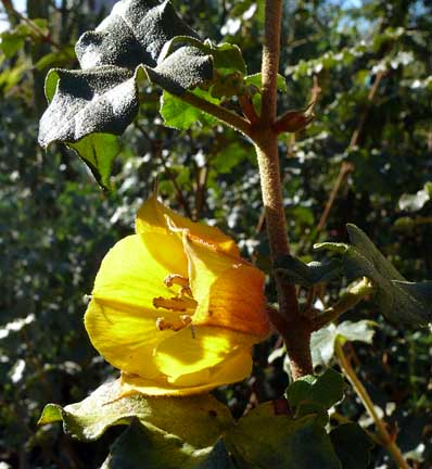 fremontodendron_pacific_sunset