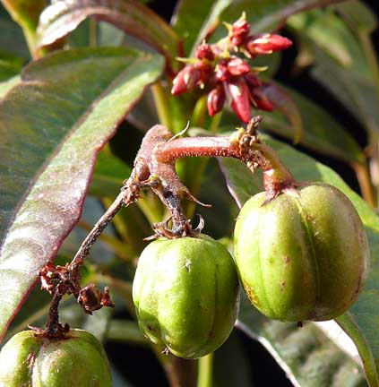 jatropha_integerrima_seedpods