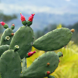 Prickly Pear Cactus Growing in Jamaica