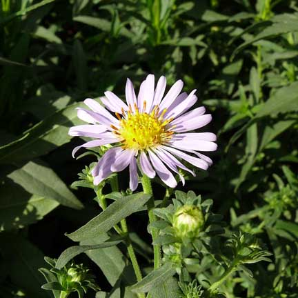 aster_chilensis3