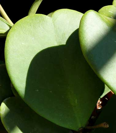 big thick heart shaped leaves cactus jungle