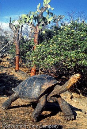 Giant Galapagos Tortoise with fully extended legs + neck.