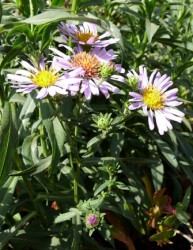 aster_chilensis