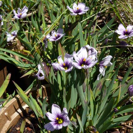 sisyrinchium_bellum_blue_eyed_grass2