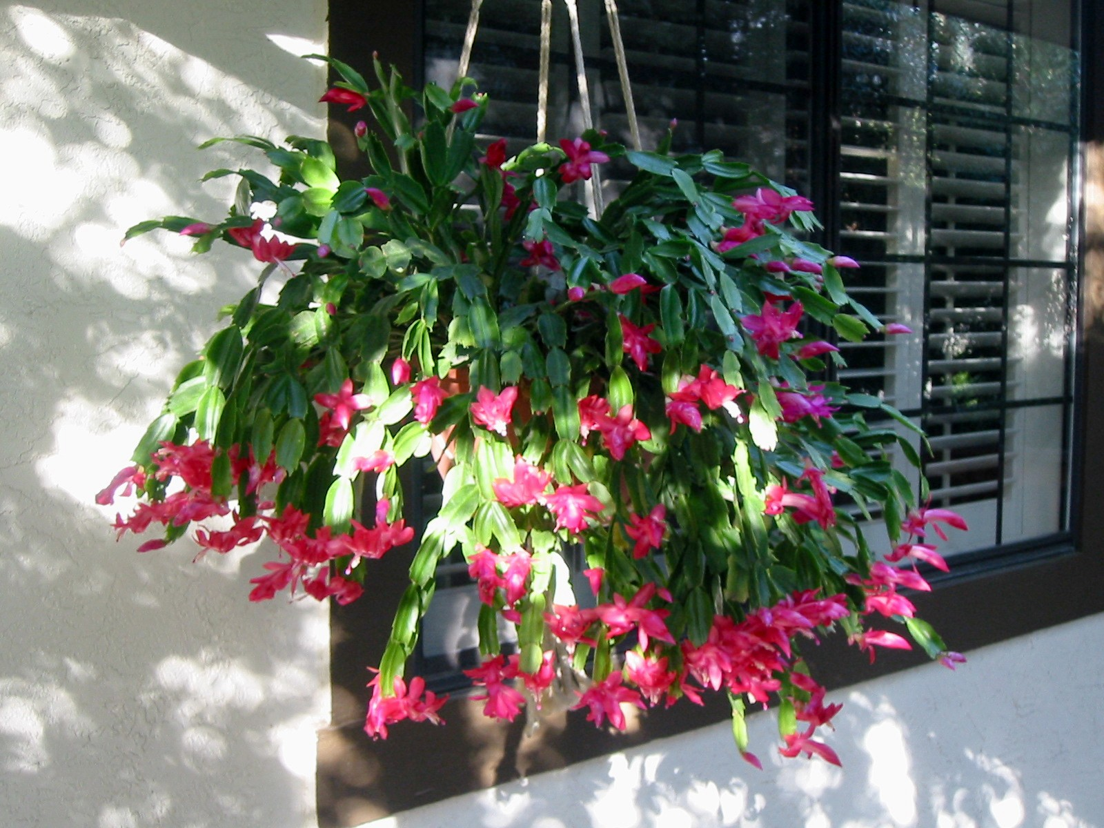 Hanging Basket Cactus Jungle
