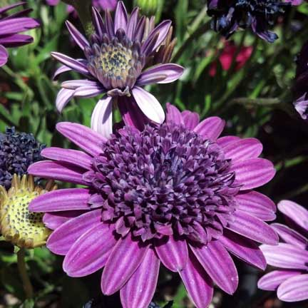 osteospermum_double_purple