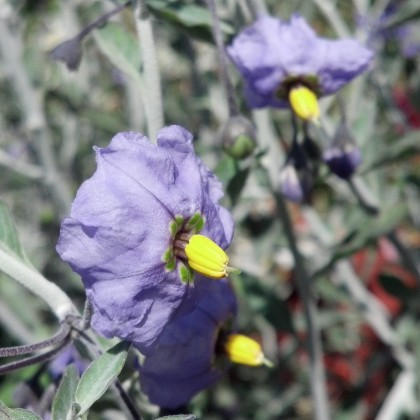 Solanum Indian Grey