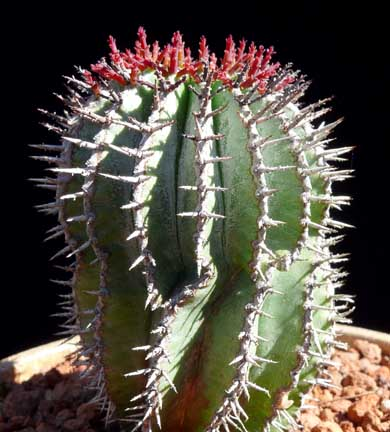 euphorbia_horrida_striata4