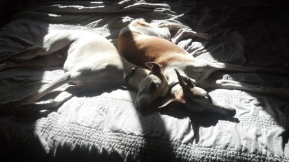 Sun puddle whippets