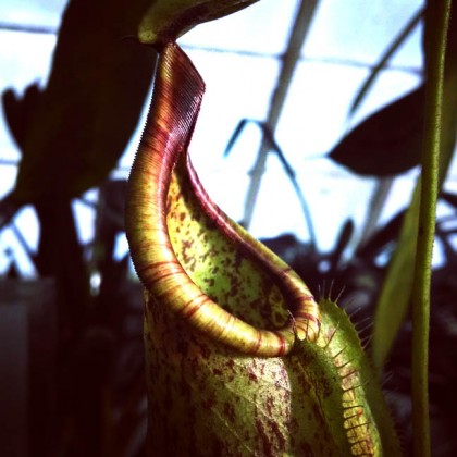 Nepenthes1