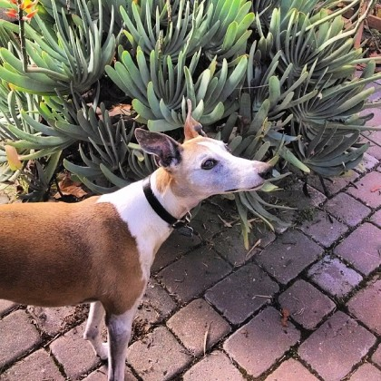 whippet and aloe
