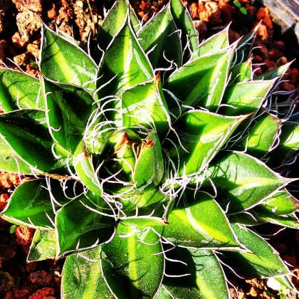 Agave Black Widow