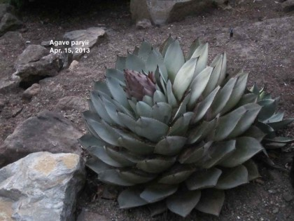 Agaves in bloom - 09