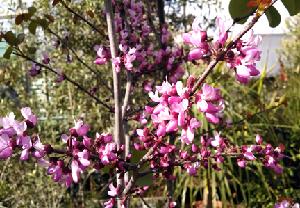 cercis_occidentalis_blooms4