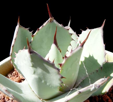 aeonium subplanum cactus jungle