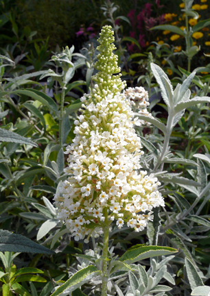 buddleia_buzz_ivory