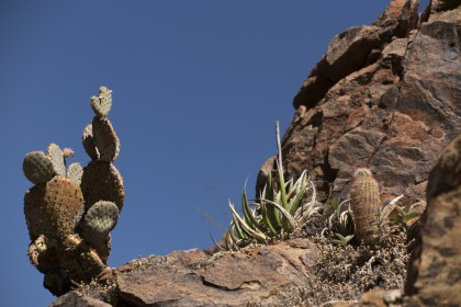 Big Bend Cacti and Agave