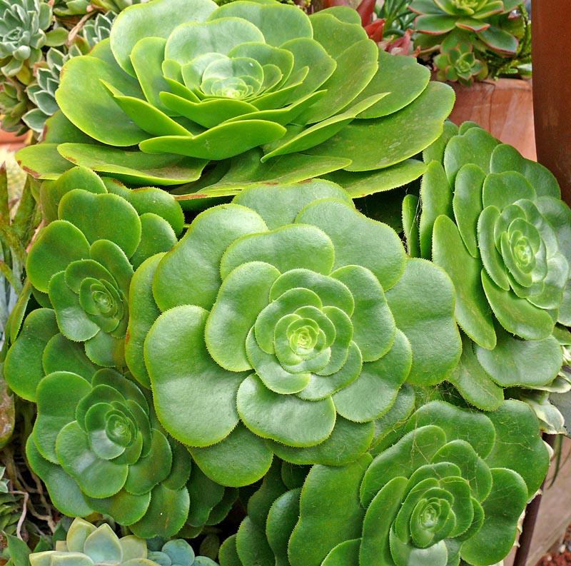Aeonium Undulatum Ssp Pseudotabuliforme Cactus Jungle
