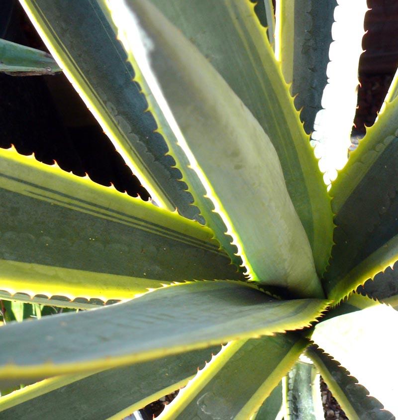 Agave Tequilana Quot Sunrise Quot Cactus Jungle