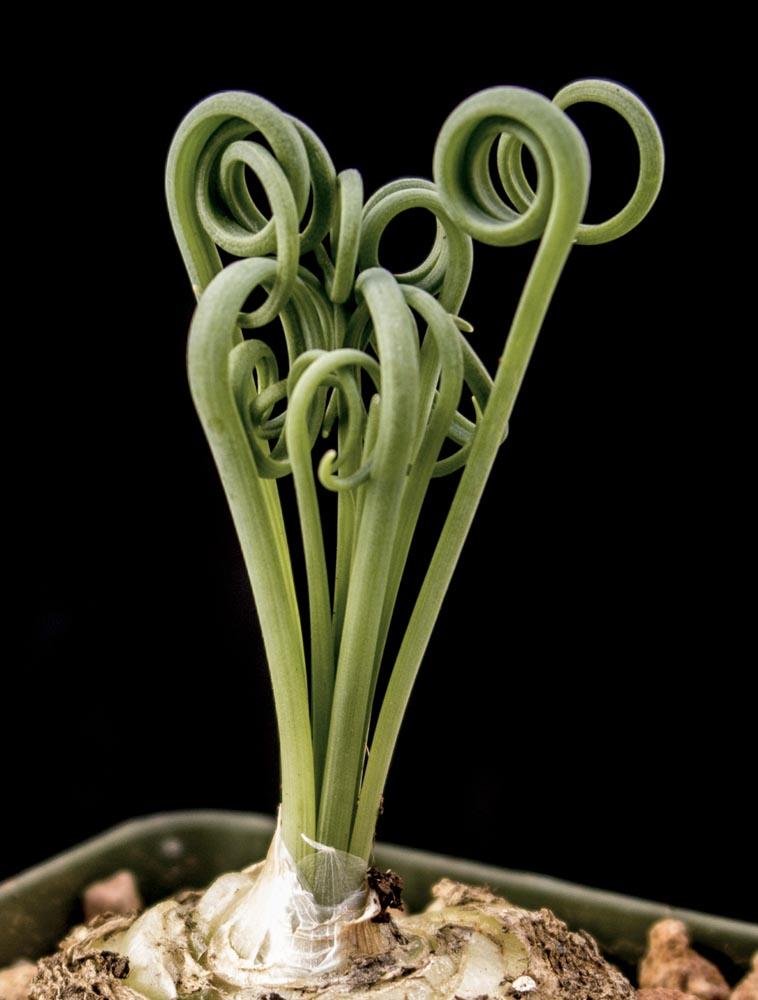 albuca spiralis cactus jungle