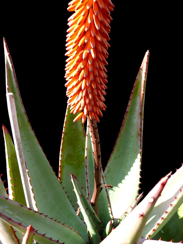 Aloe Ferox Cactus Jungle