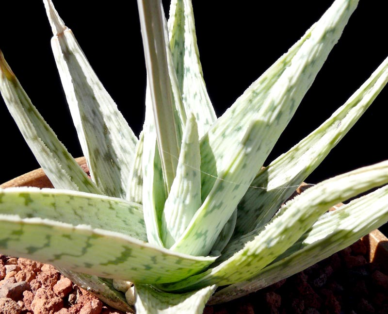 Aloe Quot White Stag Quot Cactus Jungle