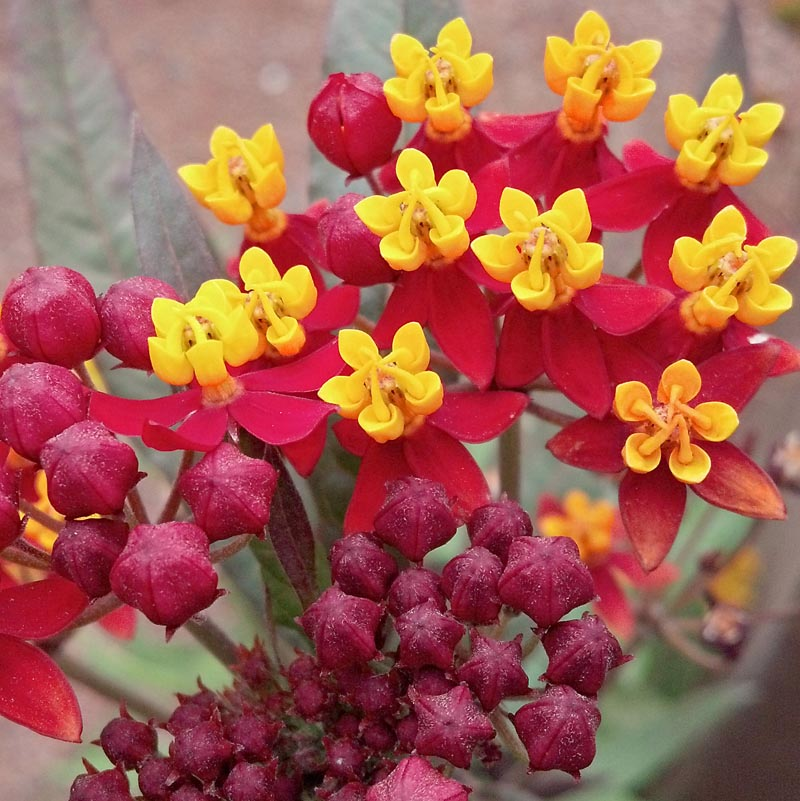 Asclepias Quot Silky Deep Red Quot Cactus Jungle