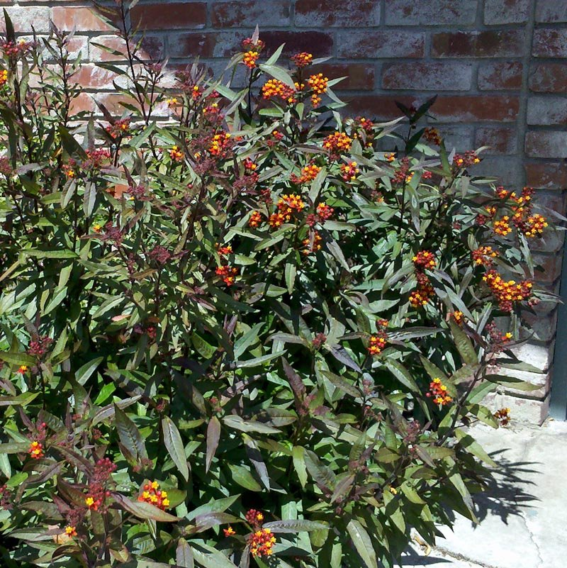 "Asclepias ""Wildfire"" - Cactus Jungle"