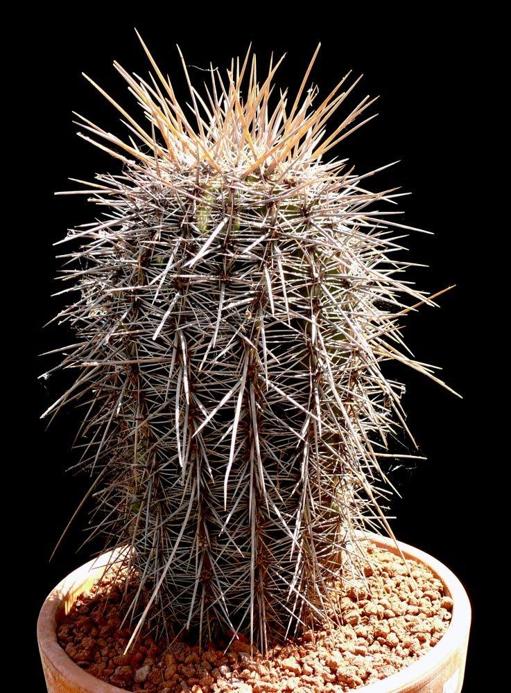Carnegiea Gigantea Cactus Jungle