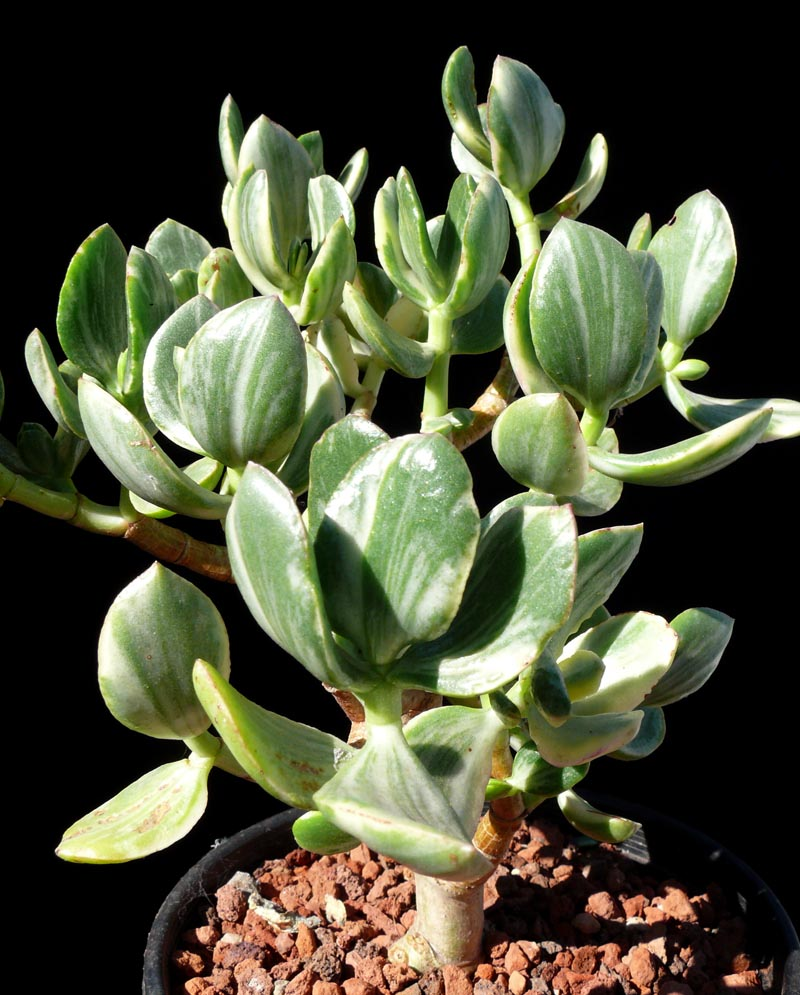 Crassula Ovata Quot Variegata Quot Cactus Jungle