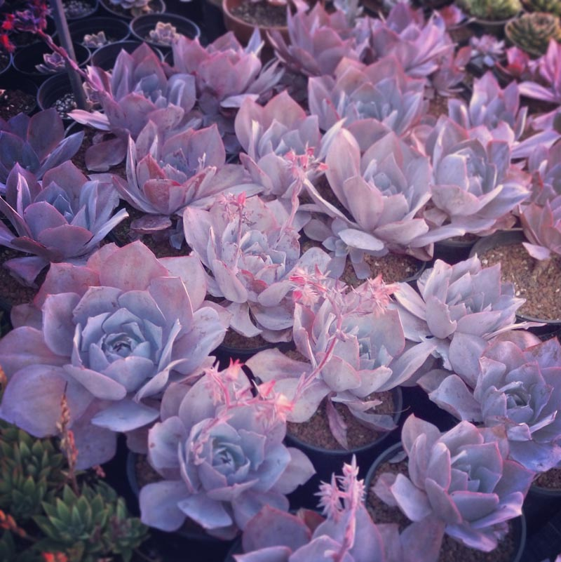 echeveria_afterglow5