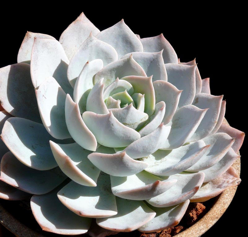 Echeveria Subsessilis Cactus Jungle