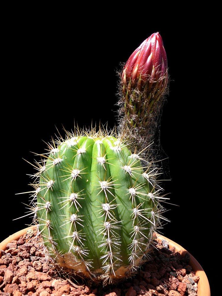Echinopsis X Quot Grandiflora Hybrids Quot Cactus Jungle