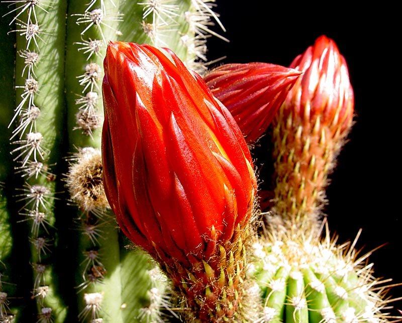 Trichocereus,Hybrid,/'PARACUS/',LARGE CLUMP ***Has Flower Buds***,Cactus,Echinopsis,No,Lobivia Offer #2