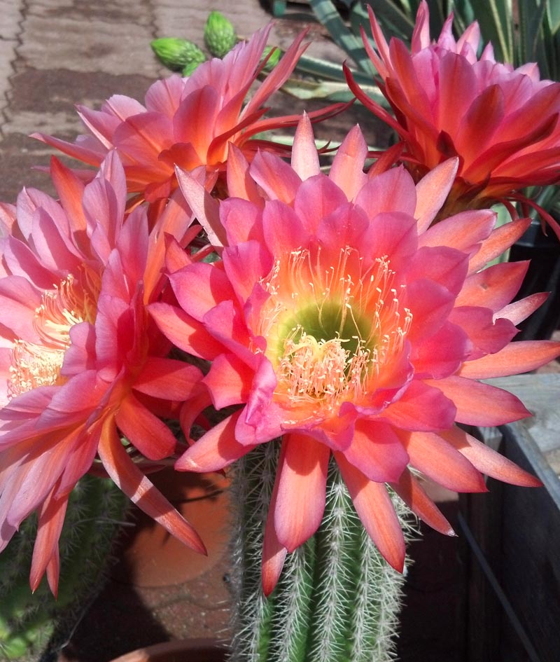 echinopsis_grandiflora_hybrid_bright_pink1 Garden Design With Cacti on sand garden, mini cactus garden, daisy's garden, wheat garden, arizona cactus garden, bromiliad garden, botany garden, geranium garden, snakes garden, bromeliads garden, aloe garden, daffodils garden, beans garden, snow garden, vegetables garden, succulents garden, weeds garden, sunflowers garden, salvia garden, indoor garden,