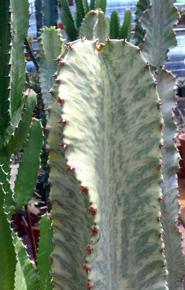 Euphorbia Ammak Cactus Jungle