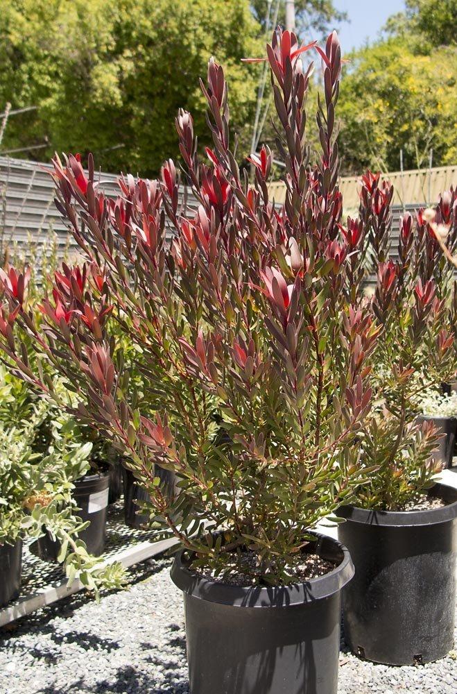 leucadendron_safari_sunset5 Common Tall Houseplants on common annuals tall, common palm house, common plants,