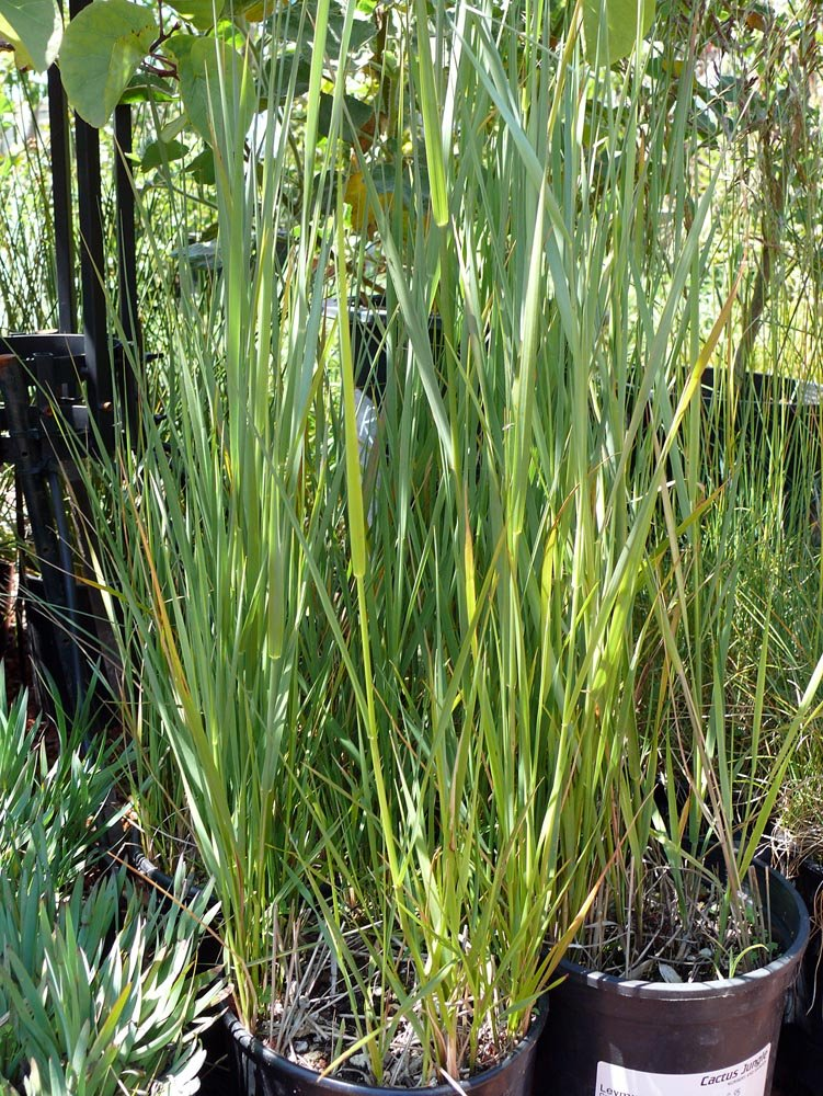 Picture of Live Beardless Wildrye, Creeping wildrye, alkali ryegrass, valley wildrye aka Leymus tritcoides Grass Plant Fit 1 Gallon Pot