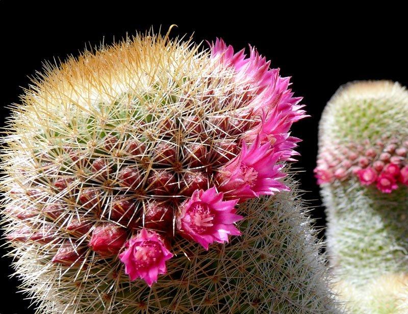 Mammillaria Spinosissima Ssp Pilcayensis Cactus Jungle