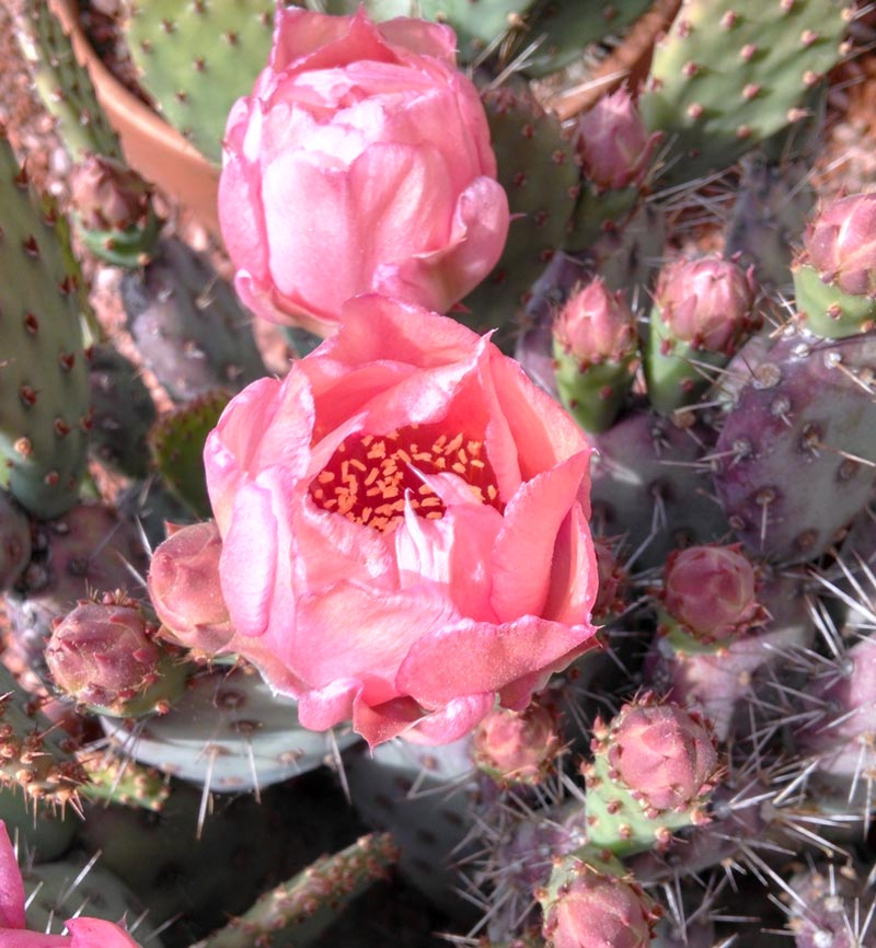Opuntia Quot Baby Rita Quot Cactus Jungle