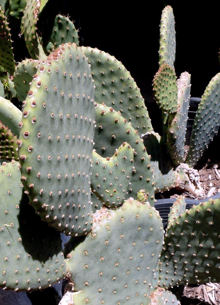 Opuntia Basilaris X Santa Rita Cactus Jungle