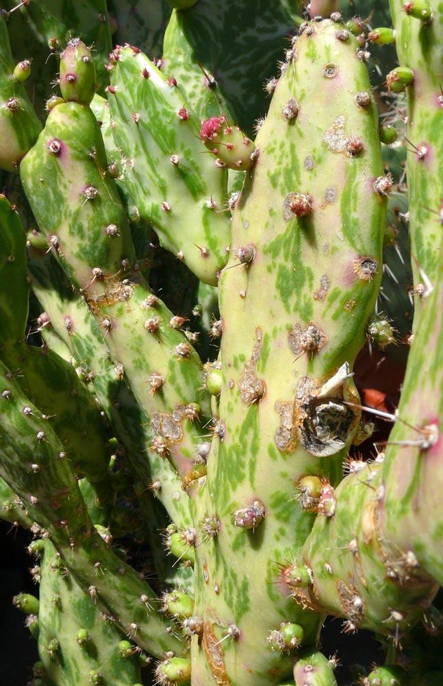 Opuntia Monacantha Quot Variegata Quot Cactus Jungle