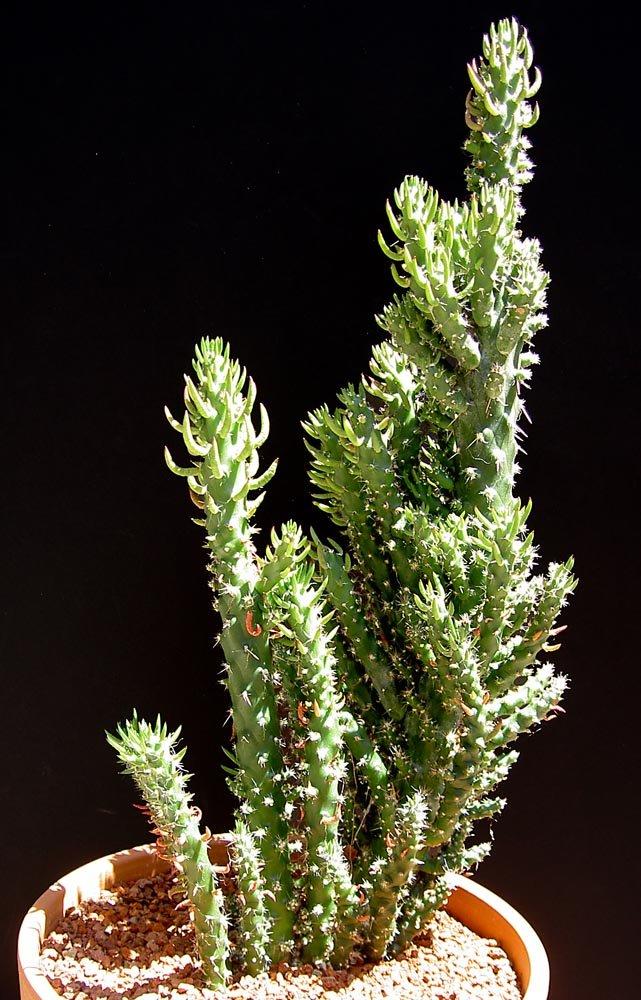 Christmas Tree Cactus