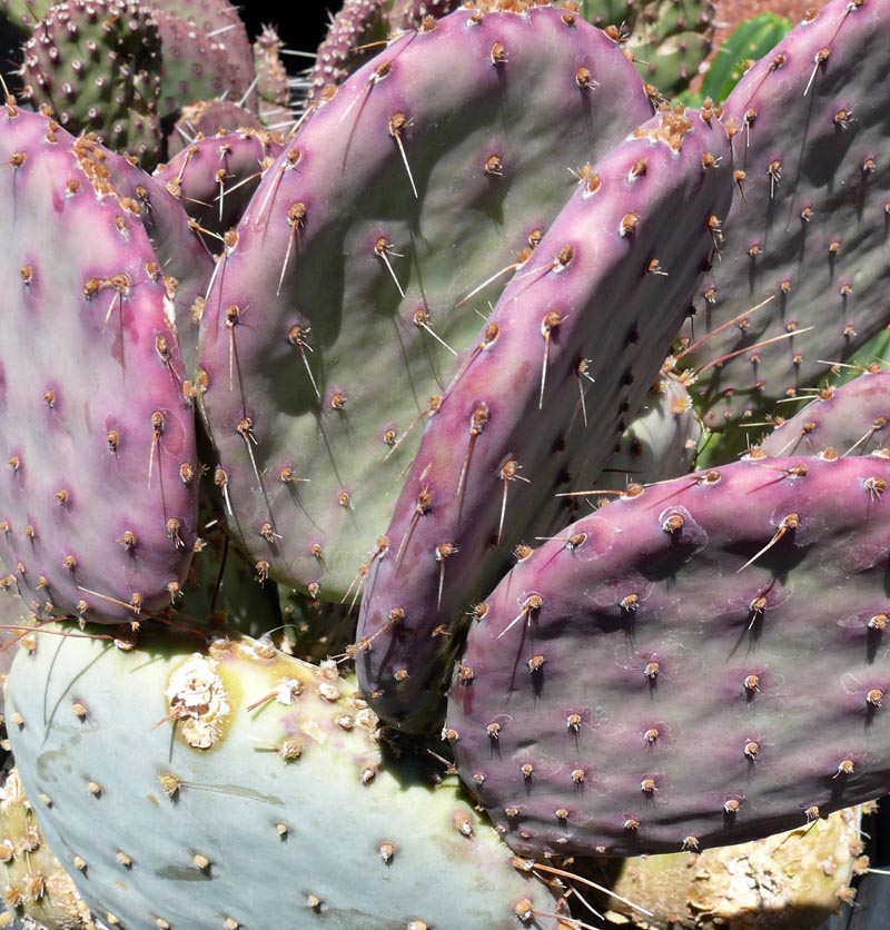 Opuntia Santa Rita Quot Tubac Quot Cactus Jungle