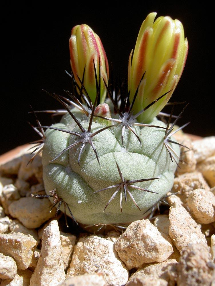 Ortegocactus macdougallii - Cactus Jungle