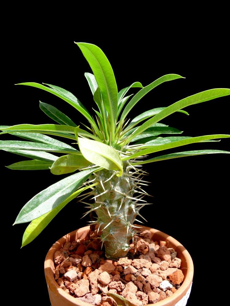 Pachypodium Lamerei Cactus Jungle