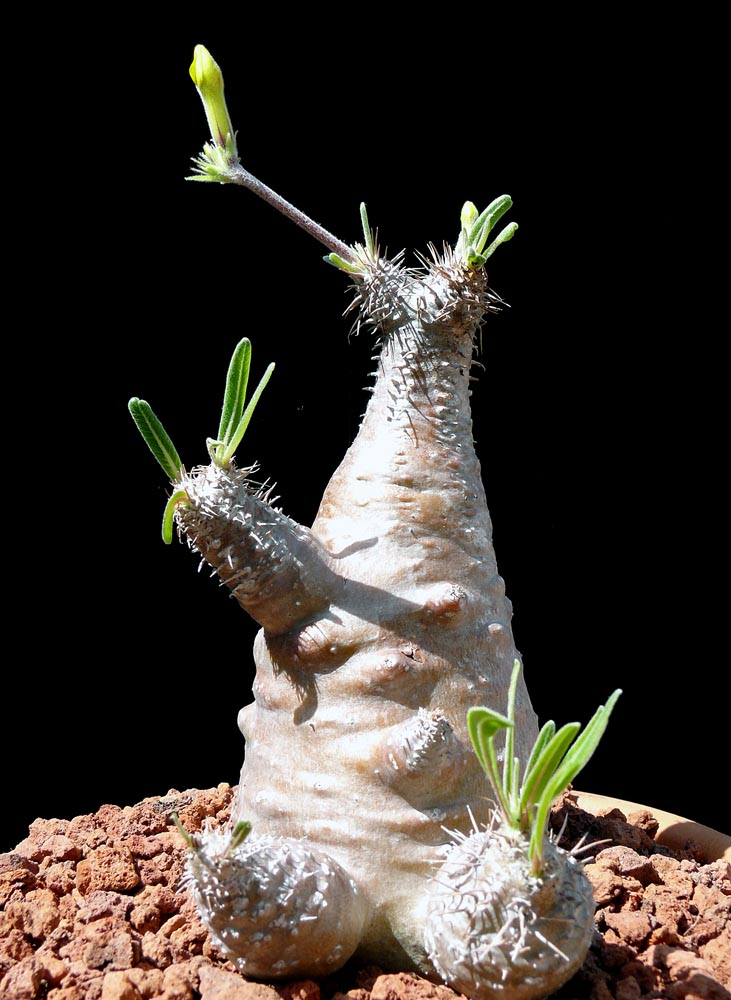 Pachypodium Rosulatum V Gracilis Cactus Jungle