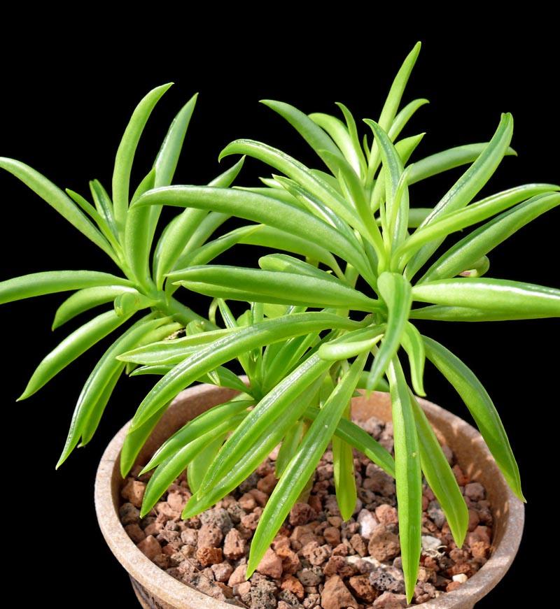 Peperomia ferreyrae - Cactus Jungle