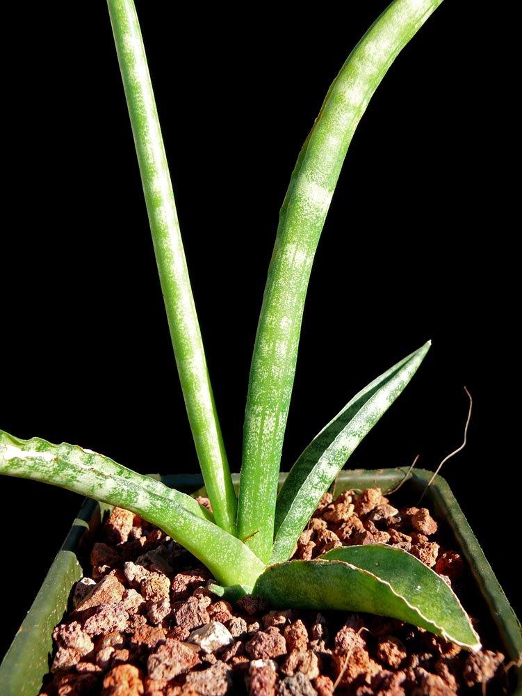 Sansevieria Cylindrica Cactus Jungle