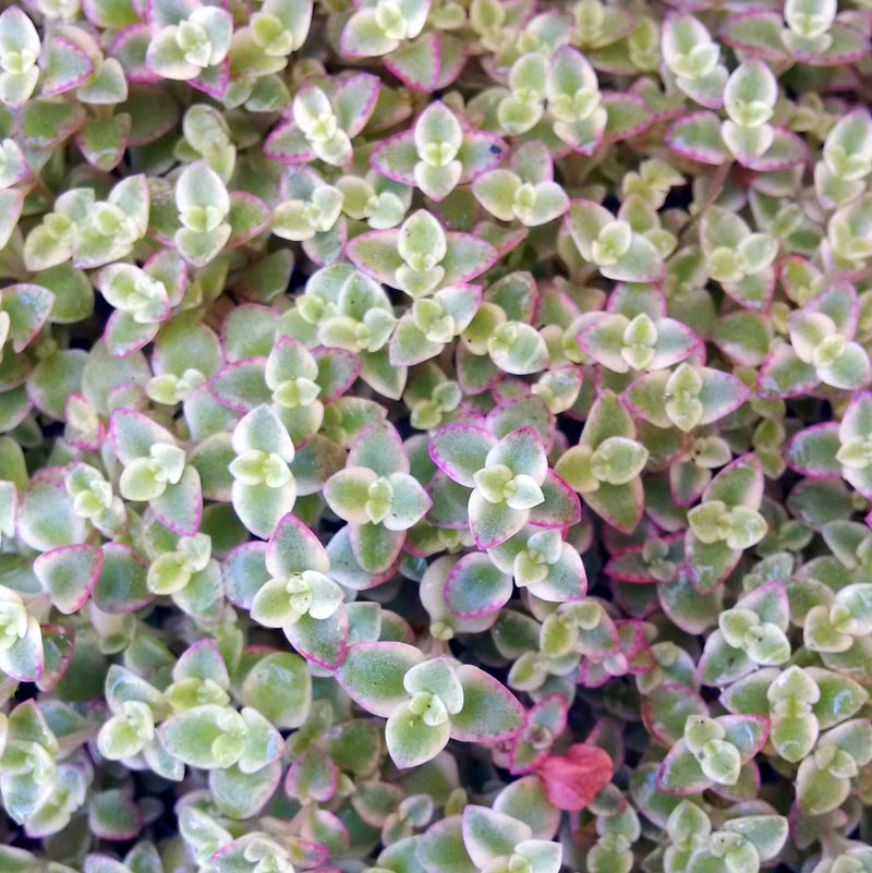 Sedum Quot Little Missy Quot Cactus Jungle